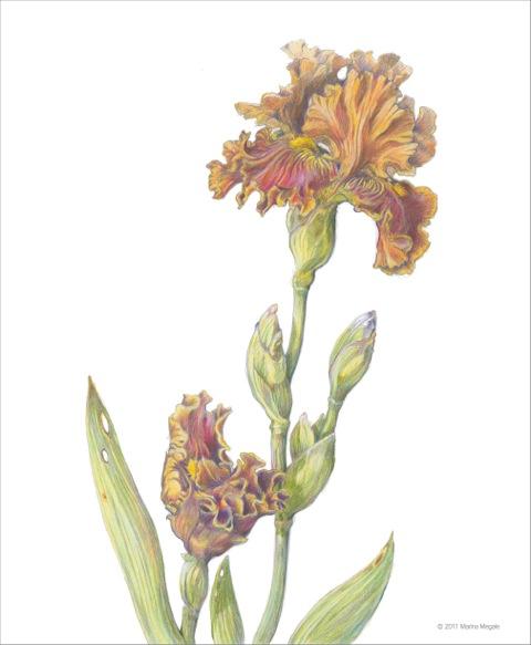 Iris from the Garden